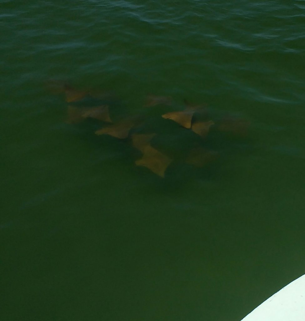 OBX bowfishing for rays